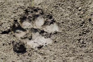 tracce animali nel bosco