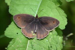 lepidotteri al bosco le risere